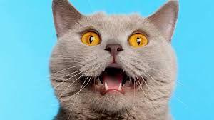 Neue Zuchtform: Katzen können jetzt mit uns sprechen