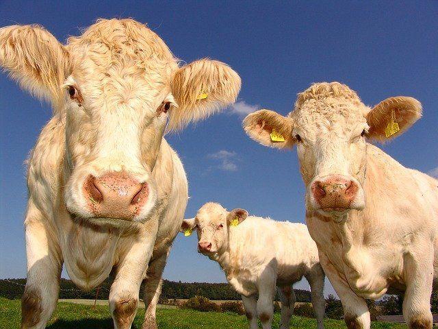 Kühe über Bremen
